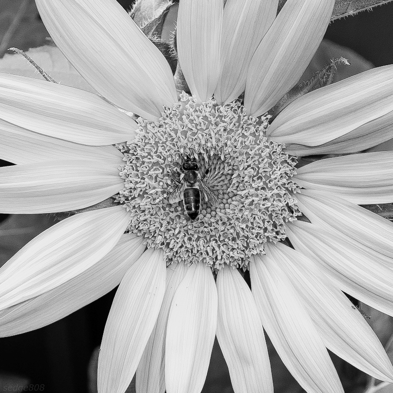 sun flower (with bee)
