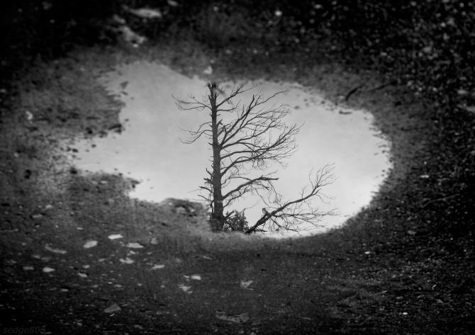 puddle tree