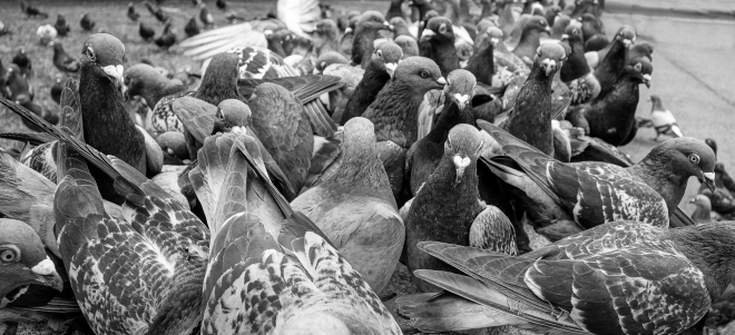 the day the pigeons took over the world