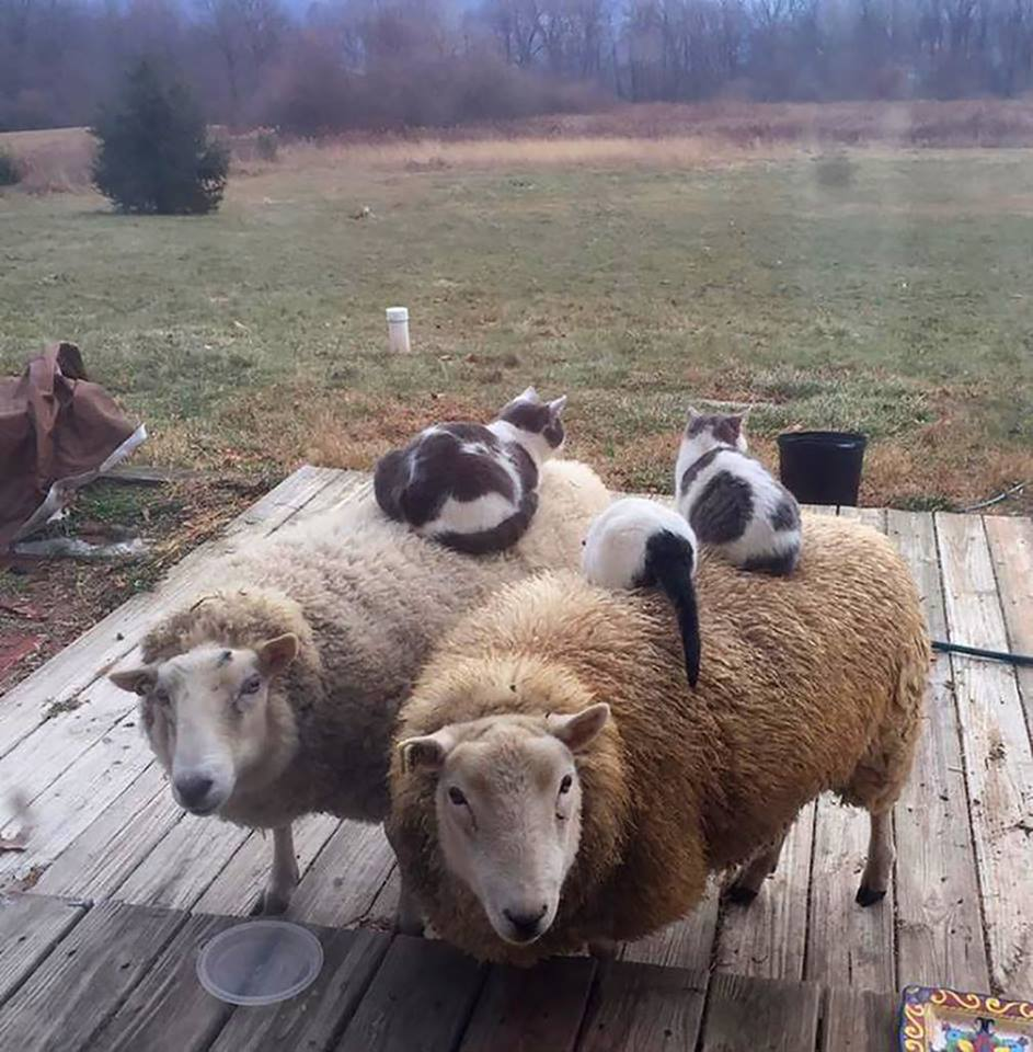 sheep for cats