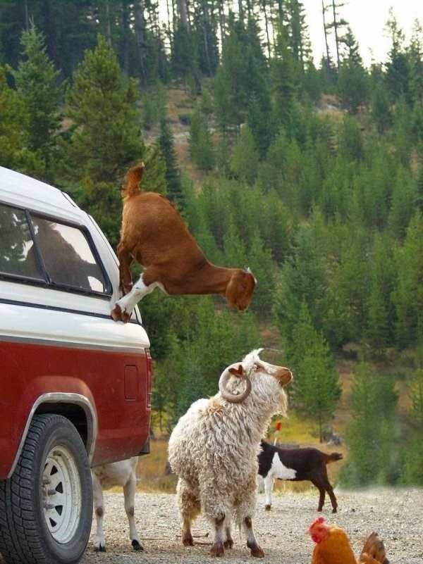 Are You Ready For Some Goat Parkour