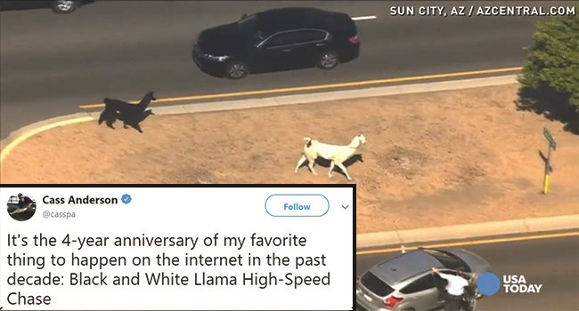 Llamas On The Loose