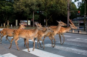 Every Day Moments Of The Urban Deer In The Streets Of Nara, Japan