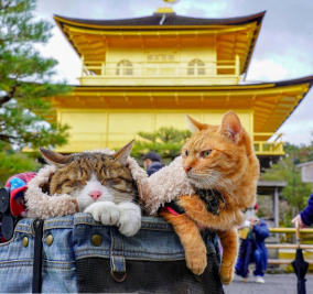 kittehs go for a walk in Japan.