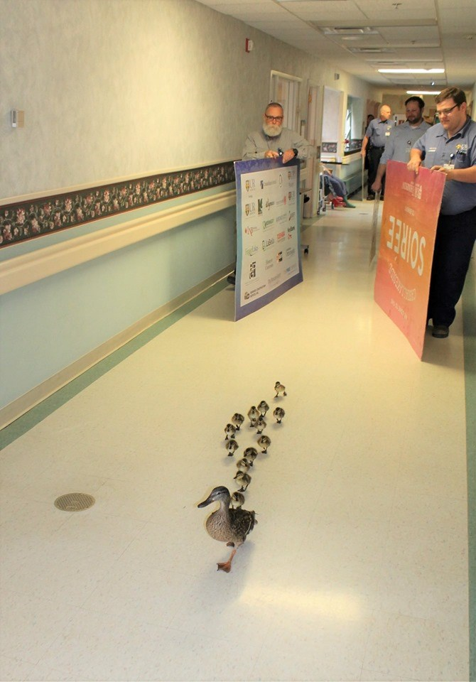 Every Year, This Mama Duck Leads Her Babies Through a NY Hospital In The Cutest Parade