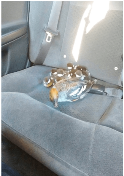 Kind Taxi-Driver Gives a Free Ride To a Family of Ducklings
