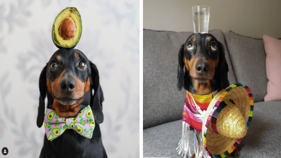Talented Dachshund Dog Perfectly Balances Any Object On His Head