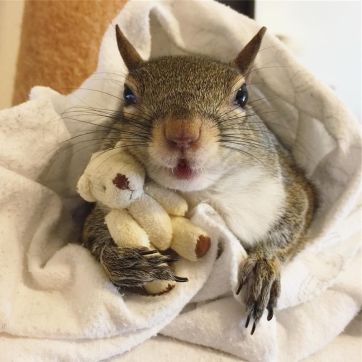 Rescue Squirrel Holding A Miniature Teddy Bear Is The Cutest Thing