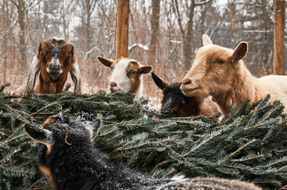 Looking For An Environmental Way To Get Rid Of Your Christmas Tree. Give It To Hungry Goats